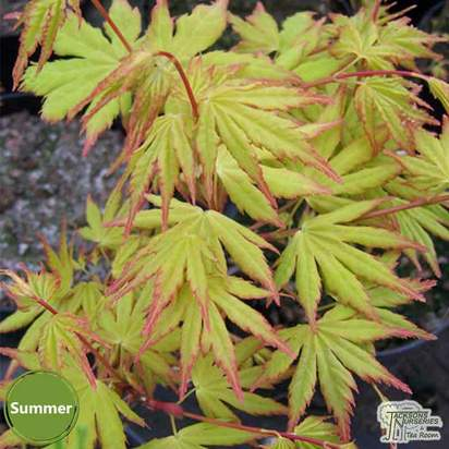 Buy Acer palmatum Katsura online from Jacksons Nurseries