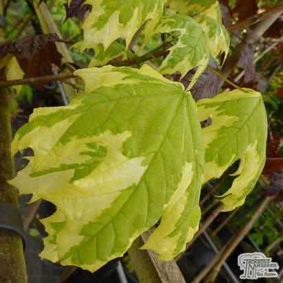 Buy Acer platanoides Drummondii online from Jacksons Nurseries