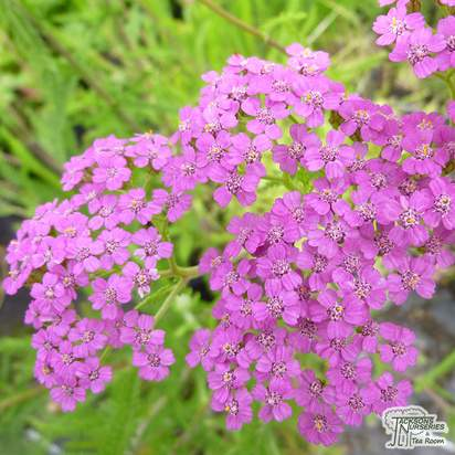 Buy Achillea Cerise Queen (Yarrow) online from Jacksons Nurseries