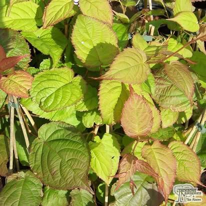 Buy Actinidia Kolomikta online from Jacksons Nurseries
