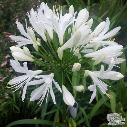 Buy Agapanthus africanus Albus (African Lily) online from Jacksons Nurseries
