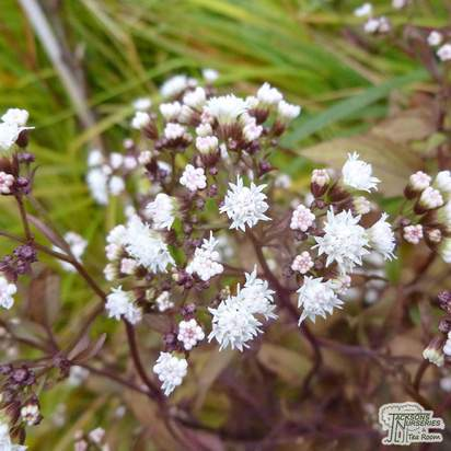 Buy Ageratina altissima 'Chocolate' (syn. Eupatorium) (White Snake Root) online from Jacksons Nurseries
