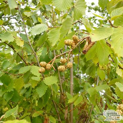 Buy Alnus incana Aurea at Jacksons Nurseries