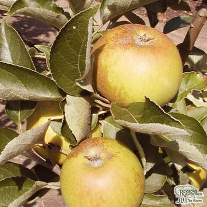 Buy Apple - Malus domestica Egremont Russet online from Jacksons Nurseries