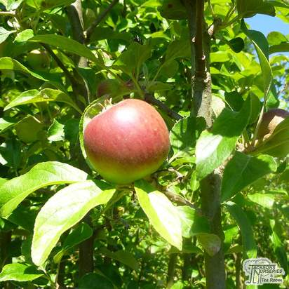 Buy Apple - Malus domestica Cox's Orange Pippin online from Jacksons Nurseries