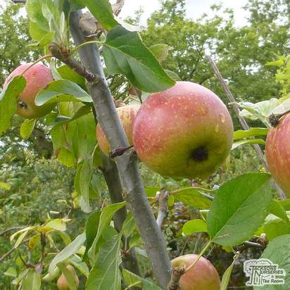 Buy Apple - Malus domestica Charles Ross online from Jacksons Nurseries