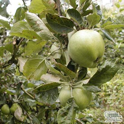 Buy Apple - Malus domestica Golden Delicious online from Jacksons Nurseries