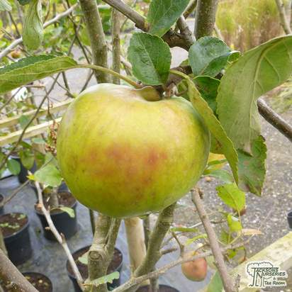 Buy Apple - Malus domestica Grenadier online from Jacksons Nurseries