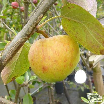 Buy Apple - Malus domestica James Grieve online from Jacksons Nurseries