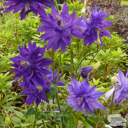 Buy Aquilegia vulgaris var. stellata 'Blue Barlow' (Granny's Bonnet) online from Jacksons Nurseries