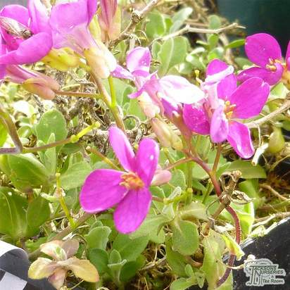 Buy Arabis caucasica Hedi (Rock Cress Bloom) online from Jacksons Nurseries