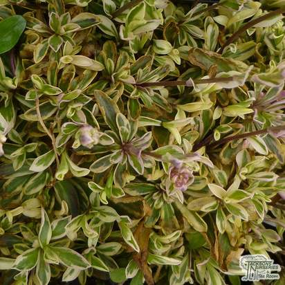 Buy Arabis procurrens Variegata (Rock Cress Bloom) online from Jacksons Nurseries