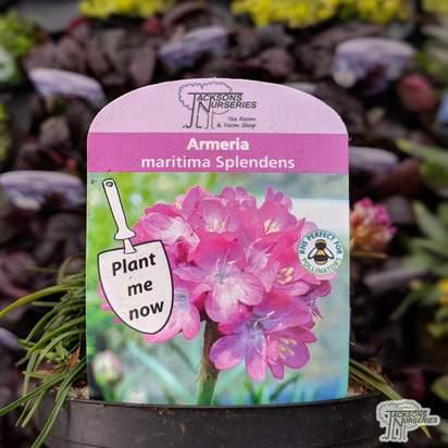 Buy Armeria maritima Splendens (Splendens Beach Thrift) online from Jacksons Nurseries