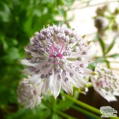 Buy Astrantia major subsp. involucrata Shaggy (Masterwort) online from Jacksons Nurseries
