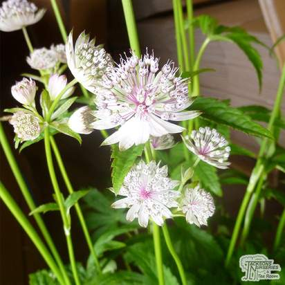 Buy Astrantia major subsp. involucrata Shaggy (Masterwort) online from Jacksons Nurseries
