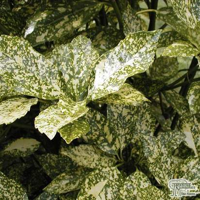 Buy Aucuba japonica Variegata (Spotted Laurel) online from Jacksons Nurseries