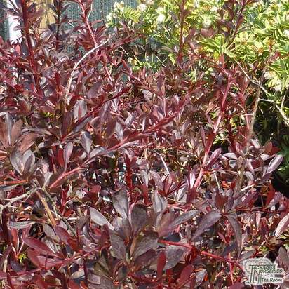 Buy Berberis thunbergii atropurpurea Red Chief (Barberry) online from Jacksons Nurseries.