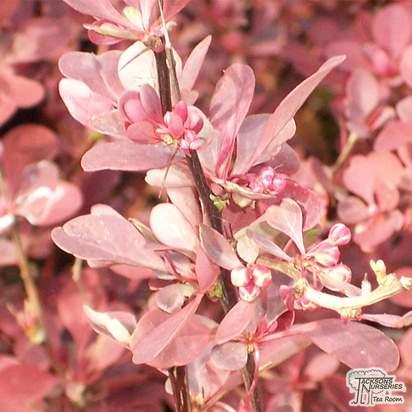 Buy Berberis thunbergii f. atropurpurea Rose Glow (Barberry) online from Jacksons Nurseries