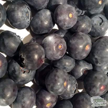 Buy Blueberry - Vaccinium corymbosum Earliblue online from Jacksons Nurseries