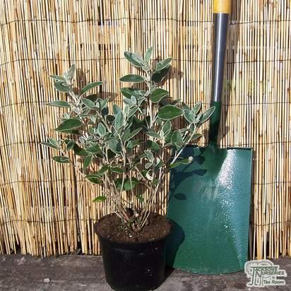 Buy Brachyglottis Sunshine (Senecio Sunshine) online from Jacksons Nurseries