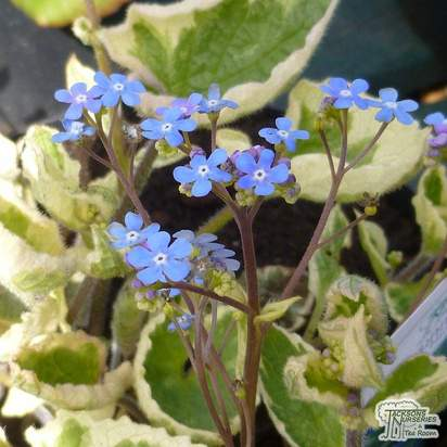 Buy Brunnera macrophylla Hadspen Cream (Siberian bugloss) online from Jacksons Nurseries