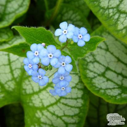 Buy Brunnera macrophylla Jack Frost (Siberian bugloss) online from Jacksons Nurseries