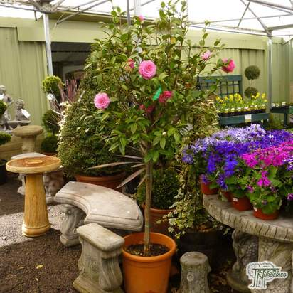 Buy Camellia japonica Pink/Red online from Jacksons Nurseries