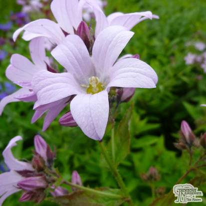 Buy Campanula lactiflora Loddon Anna (Milky Bellflower) online from Jacksons Nurseries