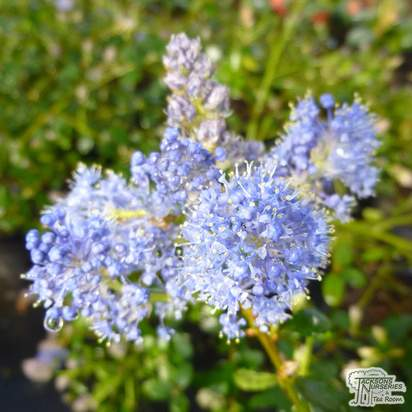Buy Ceanothus thyrsiflorus var. repens (Creeping Blueblossom) online from Jacksons Nurseries.