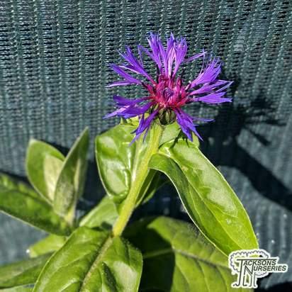 Buy Centaurea montana Grandiflora (Cornflower) online from Jacksons Nurseries
