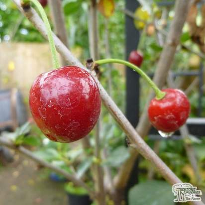 Buy Cherry - Prunus cerasus Morello online from Jacksons Nurseries