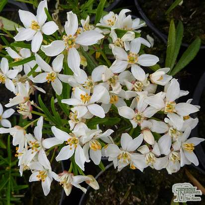 Buy Choisya x dewitteana White Dazzler (Mexican Orange Blossom) online from Jacksons Nurseries