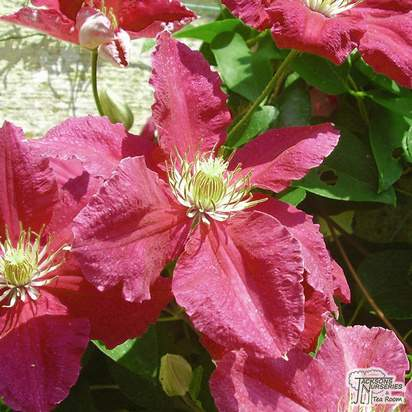 Buy Clematis Kermesina at Jackson Nurseries