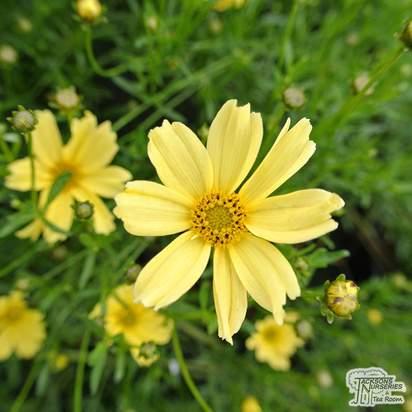Buy Coreopsis Creme Brulee (Tickseed) online from Jacksons Nurseries
