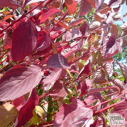 Buy Cornus alba Sibirica (Red-barked Dogwood) online from Jacksons Nurseries