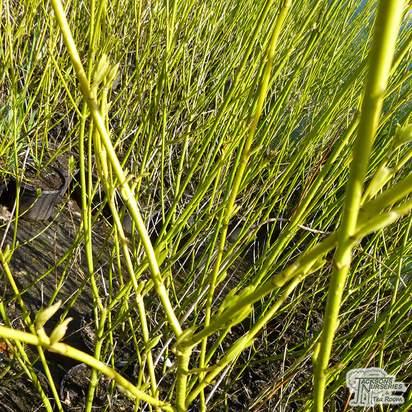Buy Cornus sericea Flaviramea (Golden twig Dogwood) online from Jacksons Nurseries