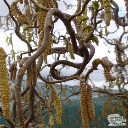 Buy Corylus avellana Contorta (Corkscrew Hazel) online from Jacksons Nurseries