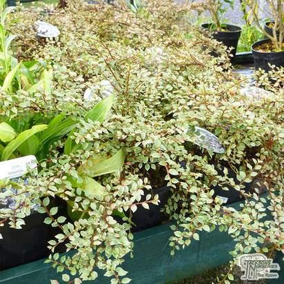 Buy Cotoneaster atropurpureus Variegatus (Cotoneaster) online from Jacksons Nurseries