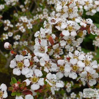 Buy Cotoneaster conspicuus Decorus (Cotoneaster) online from Jacksons Nurseries.