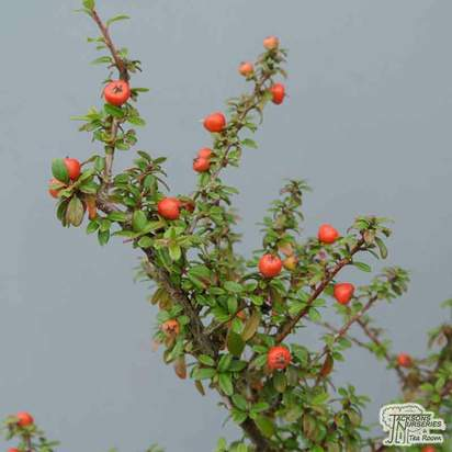 Buy Cotoneaster microphyllus at Jacksons Nurseries