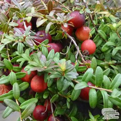 Buy Cranberry - Vaccinium macrocarpon Pilgrim online from Jacksons Nurseries