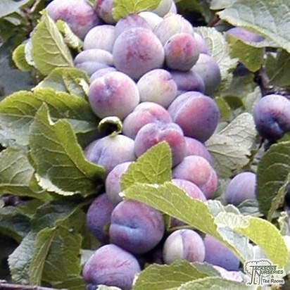 Buy Damson - Prunus insititi Farleigh Prolific online from Jacksons Nurseries