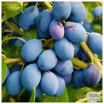 Buy Damson - Prunus insititia Merryweather online from Jacksons Nurseries