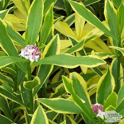 Buy Daphne odora Marianni ® (Rogbret) (Daphne) online from Jacksons Nurseries
