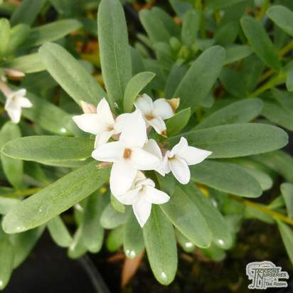 Buy Daphne x transatlantica Eternal Fragrance (Daphne) online from Jacksons Nurseries