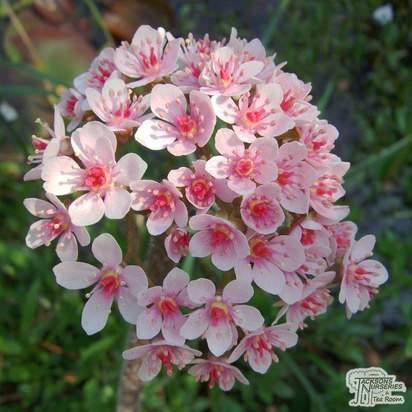 Buy Darmera peltata (Umbrella plant) online from Jacksons Nurseries