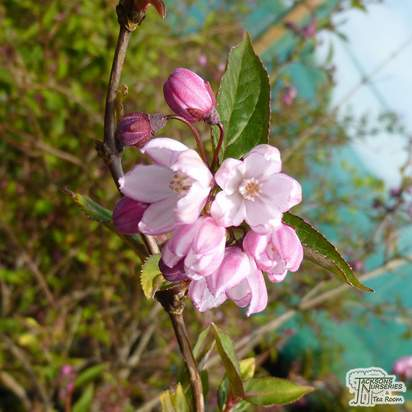 Buy Deutzia kalmiiflora (Deutzia) online from Jacksons Nurseries.