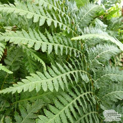 Buy Dicksonia antarctica (Tree fern) online from Jacksons Nurseries.