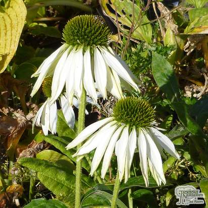 Buy Echinacea purpurea White Swan (Coneflower) in the UK