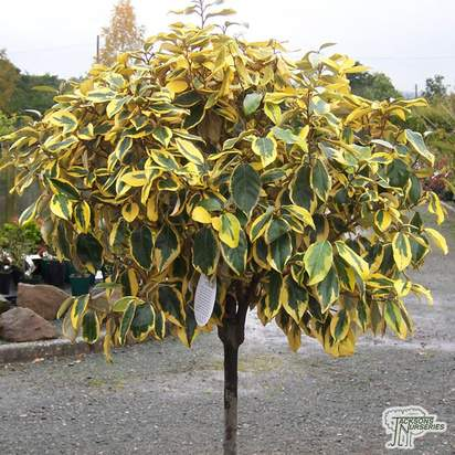 Buy Elaeagnus ebbingei Gilt Edge Lollipop (Tree Form) online from Jacksons Nurseries